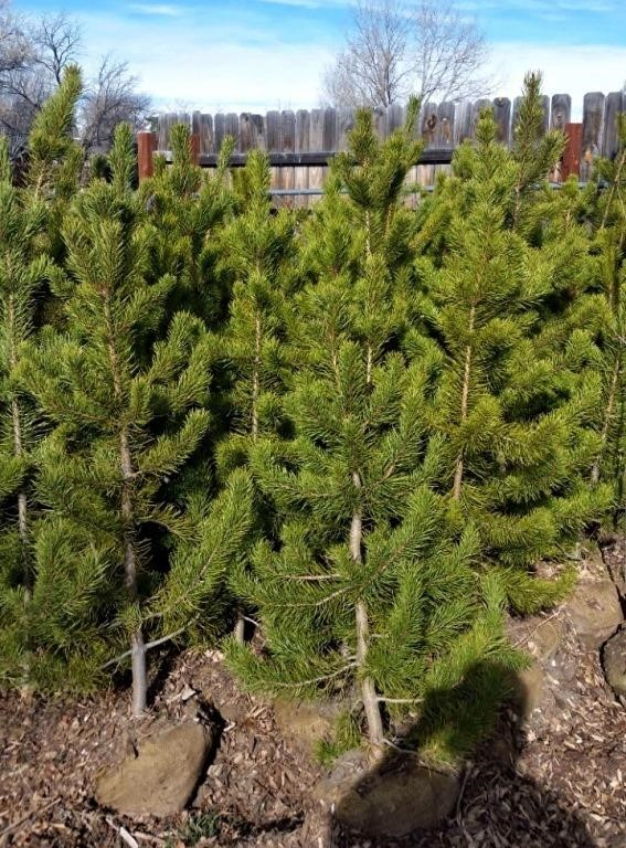 Approx 5 Logdepole Pine Trees