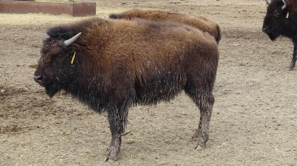 TNC Smoky Valley Ranch Online Only Bison Auction
