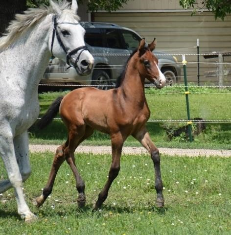 Westfalen Foals & Youngstock Classifieds